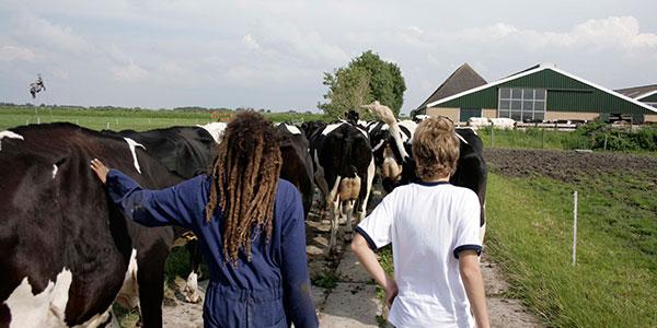 koeien_ophalen